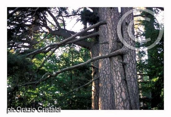 riserva naturale i giganti della sila (2302 clic)