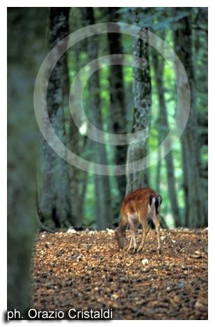 foresta umbra - capriolo garganico - Gargano (2937 clic)