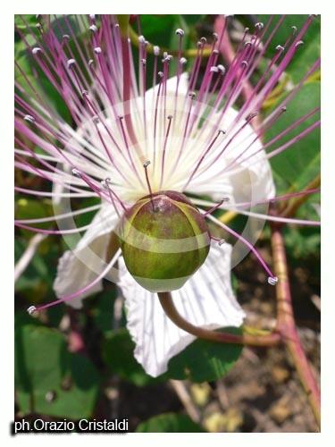fiore e cappero - PANTELLERIA - inserita il 28-Jun-07