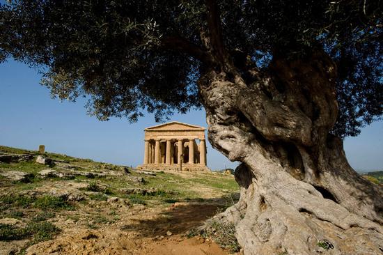 l'ulivo secolare e il tempio della concordia ad agrigento (4627 clic)