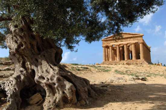 valle dei templi, tempio della concordia e ulivo secolare - Agrigento (10965 clic)