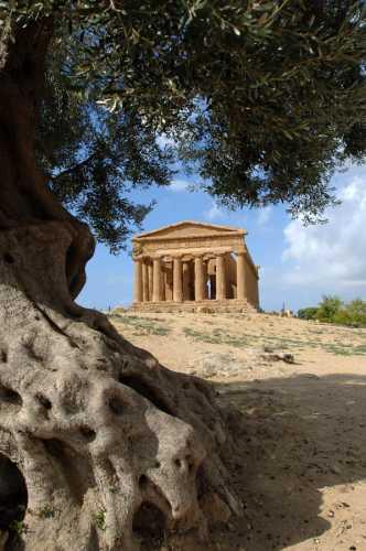 valle dei templi, tempio della concordia e ulivo secolare - Agrigento (5416 clic)