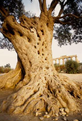 agrigento, ulivo secolare e tempio di giunone (3108 clic)