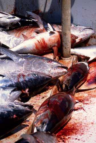mattanza della tonnara san cusumano-bonagia, trapani (4442 clic)