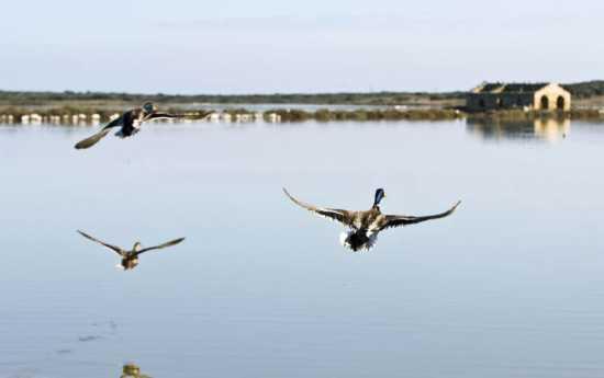 anatre in volo, riserva di vendicari (4736 clic)