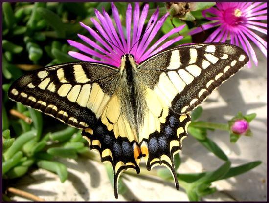 Farfalla 2011 - Sabbioneta (1786 clic)