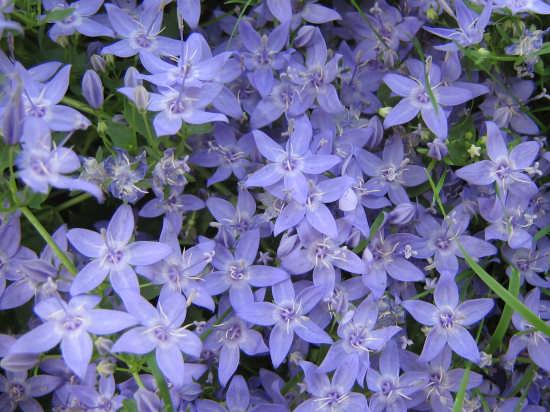 fiore del mio giardino - Sabbioneta (1885 clic)