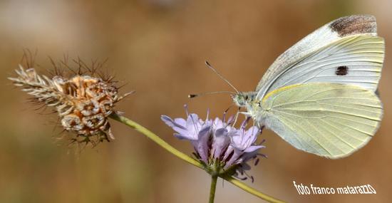 Simpatica farfalla... - Rosolini (2440 clic)