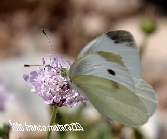 Simpatica farfalla... - Rosolini (3057 clic)
