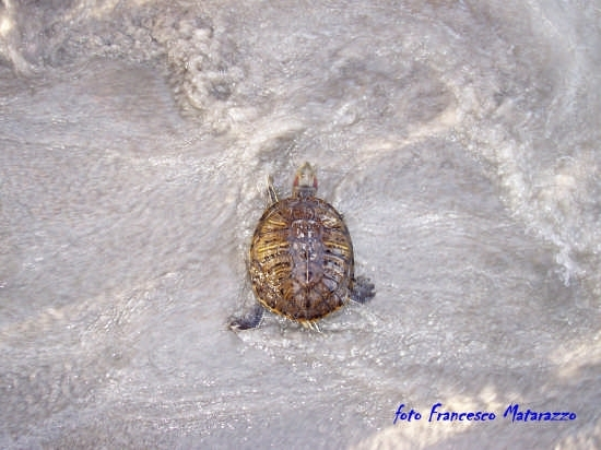 Vendicari: a passo di tartaruga (3444 clic)