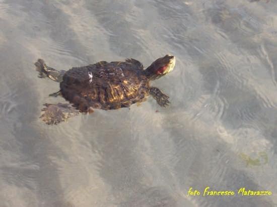 Vendicari: a passo di tartaruga (3458 clic)