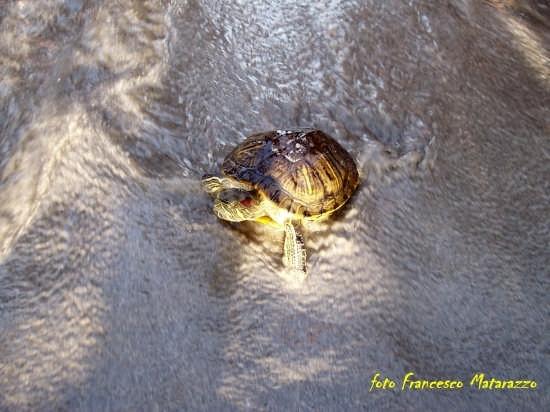 Vendicari: a passo di tartaruga (3172 clic)