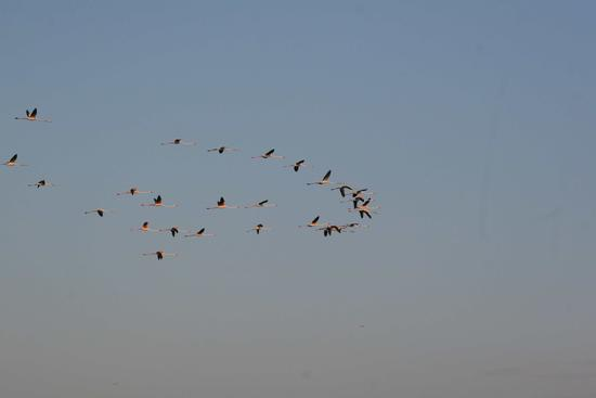 Volo di fenicotteri (294 clic)