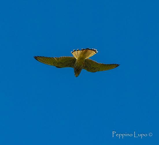Falco - Trinitapoli (648 clic)