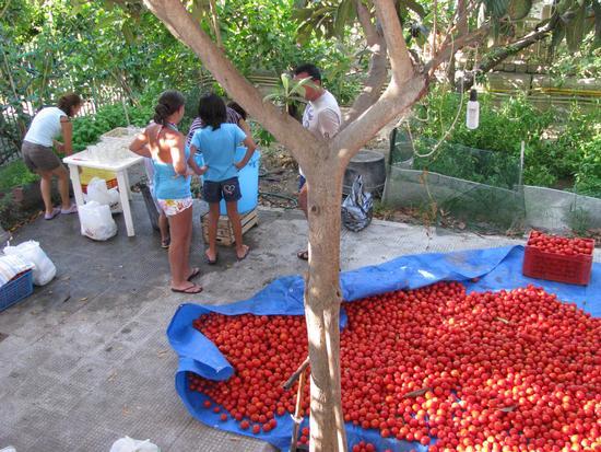Conserva di pomodori - Trinitapoli (1019 clic)
