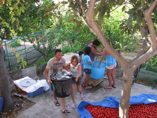 Conserva di pomodori - Trinitapoli (852 clic)