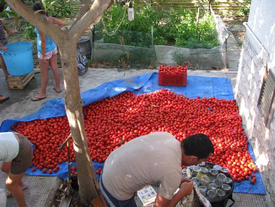 Conserva di pomodori - Trinitapoli (1420 clic)