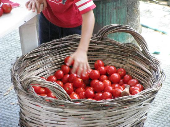 Conserva di pomodori - Trinitapoli (1979 clic)