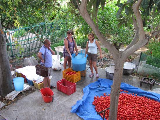 Conserva di pomodori - Trinitapoli (1660 clic)