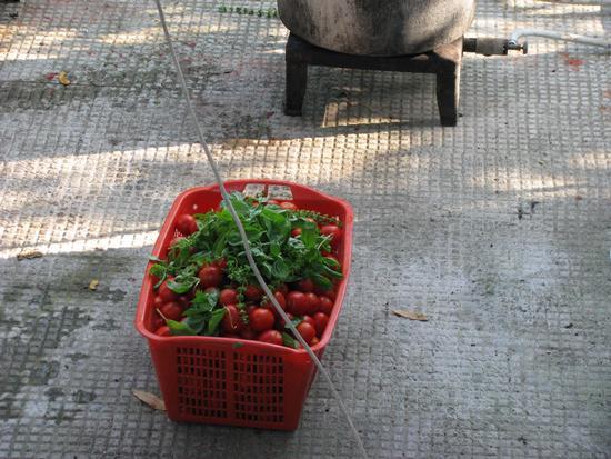 Conserva di pomodori - Trinitapoli (1530 clic)
