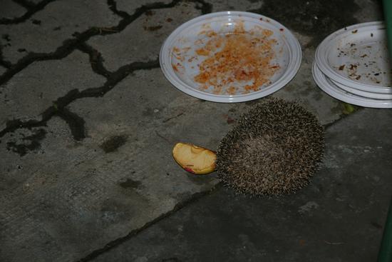 Un riccio nel mio giardino.  - Trinitapoli (1306 clic)