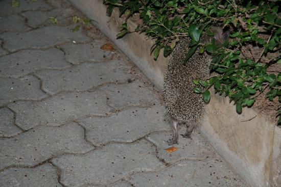 Un riccio nel mio giardino.  - Trinitapoli (1230 clic)