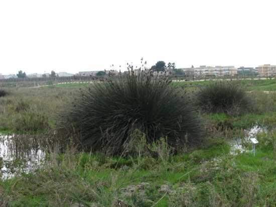 Trinitapoli: Zona Umida (1468 clic)