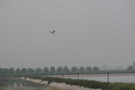fenicottero in volo - Trinitapoli (1250 clic)