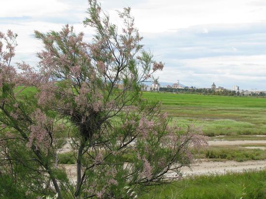 Trinitapoli zona umida                                            Volo di fenicotteri (1121 clic)