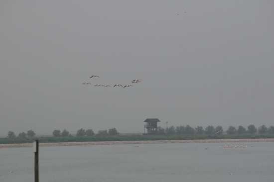 Volo di spatole nelle nebbia - Trinitapoli (1127 clic)