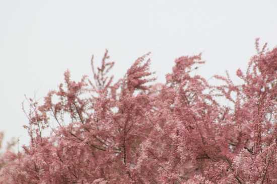 Tamerici in fiore - TRINITAPOLI - inserita il 23-Apr-10