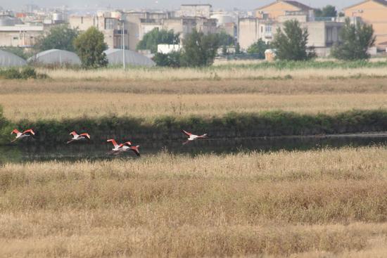 Trinitapoli zona umida .Fenicotteri in volo                                           Volo di fenicotteri (1133 clic)