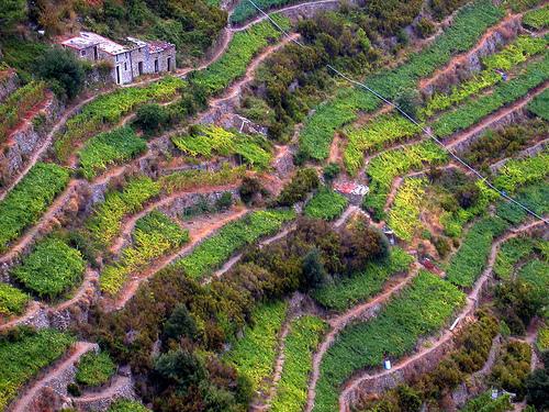 Terrazas de Corniglia (4748 clic)