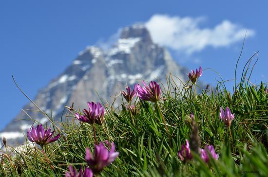 Flora sotto il Cervino (972 clic)