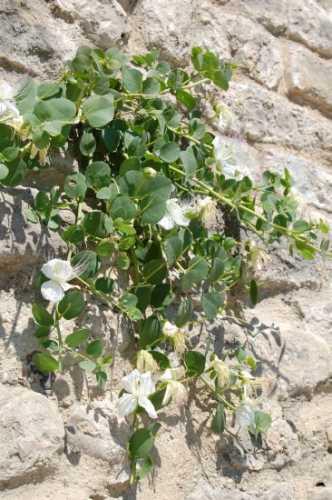 Una bellissima pianta di Capperi - Ortona (2496 clic)