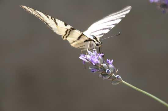 farfalla - Casorzo (1978 clic)