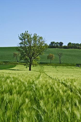 Campo di grano - Orciatico (1680 clic)