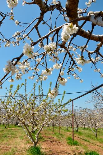 primavera - Turi (931 clic)
