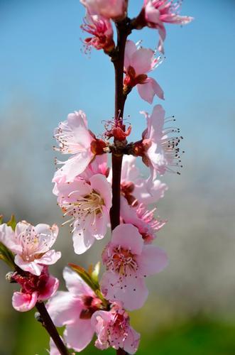 primavera - Turi (699 clic)