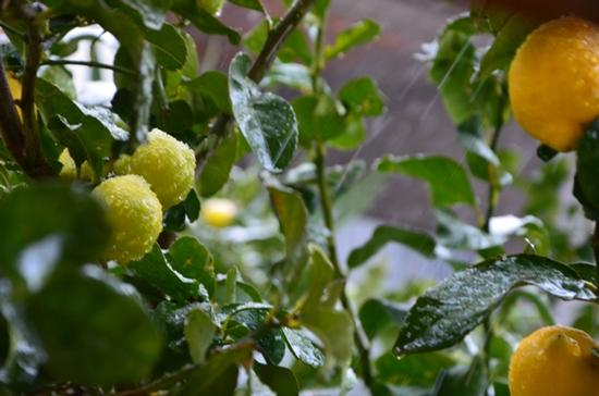 limoni - Turi (1246 clic)