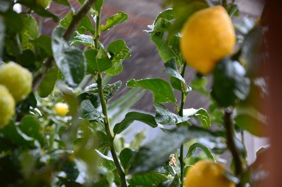 limoni - TURI - inserita il 08-Feb-12