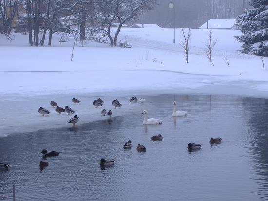 AS - Czech Republic - Anseriformi nella neve (602 clic)