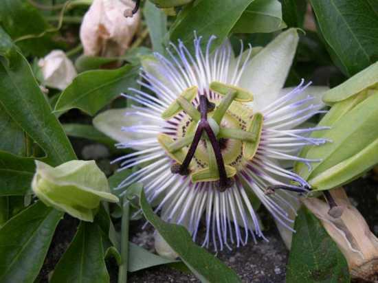 fiore ornamentale  - Sedrina (1455 clic)