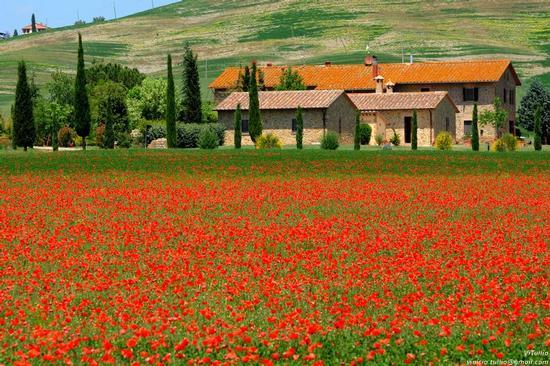 Toscana, Siena, Val d'Orcia - Gallina (2974 clic)