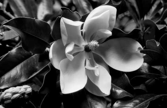 fiore di magnolia in autunno  - Rocca priora (3665 clic)