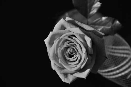 nel buio una rosa - Verolengo (1660 clic)