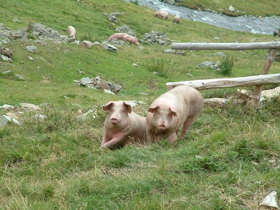 Porcellini al pascolo in Malghera - Valgrosina - Grosio (3221 clic)