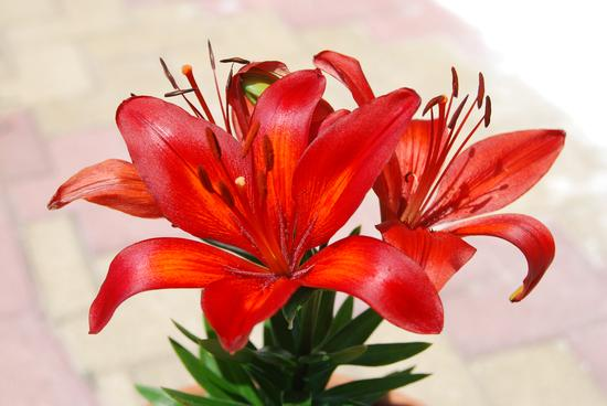 Fiore Lilium - Sciacca (985 clic)