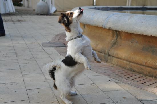 cagnolino con la  lingua  - Ribera (3027 clic)