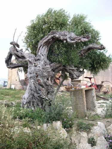 Albero secolare - Ribera (4719 clic)
